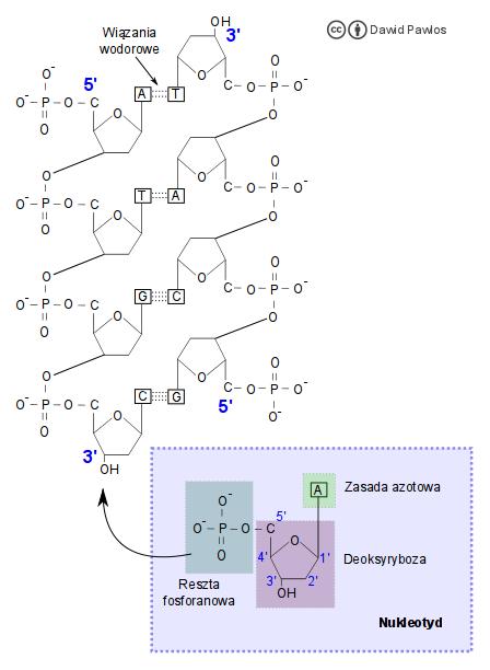 Replikacja Artykuly Biologiczne Biologia